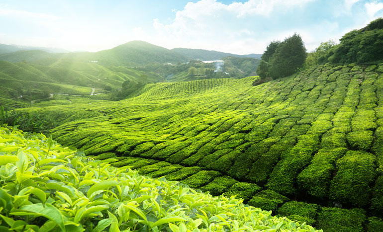 Feinste First-Flush Darjeelings